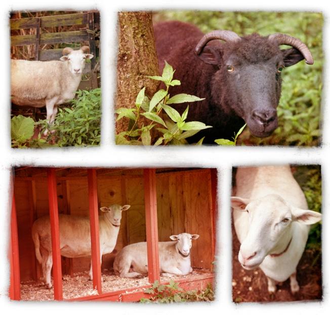 sheeppics_lr